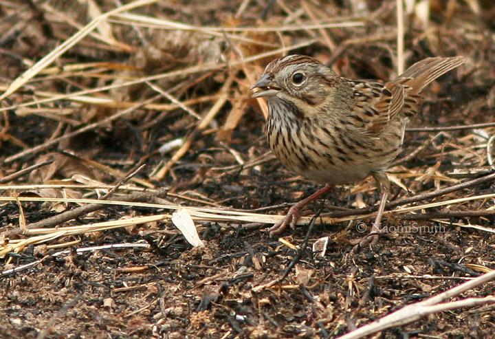 Lincolns Sparrow - Jan. 28/06