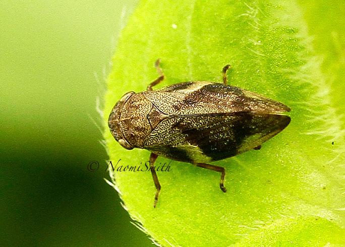 Meadow Spittlebug - Philaenus spumarius JL14 #7514