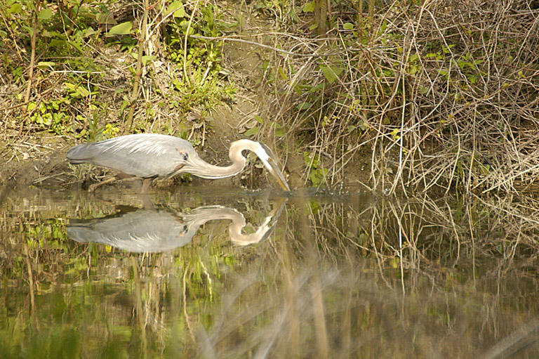 Heron in Euclid Creek.jpg