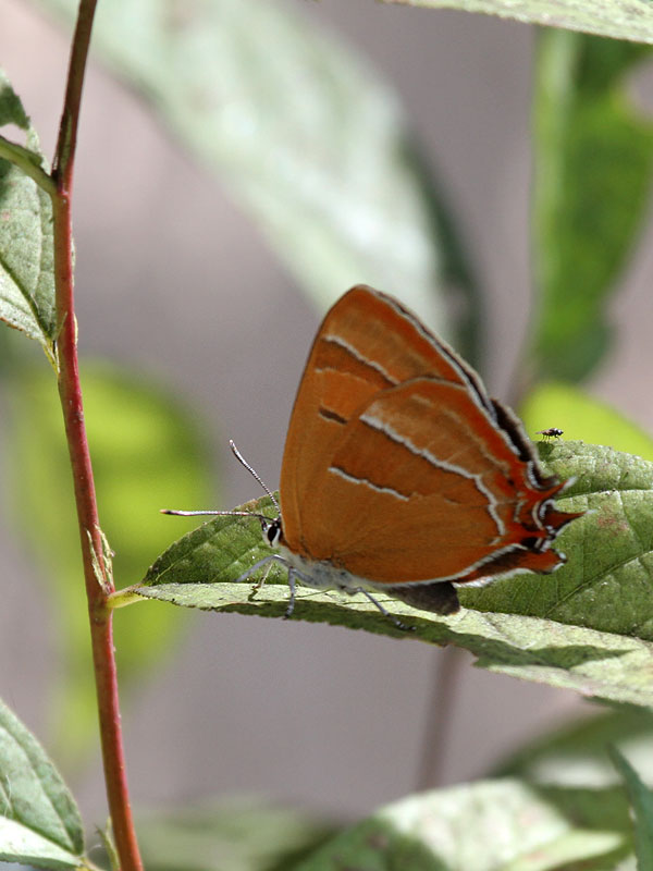 Nierenfleck-Zipfelfalter (Birkenzipfelf.) - Brown Hairstreak