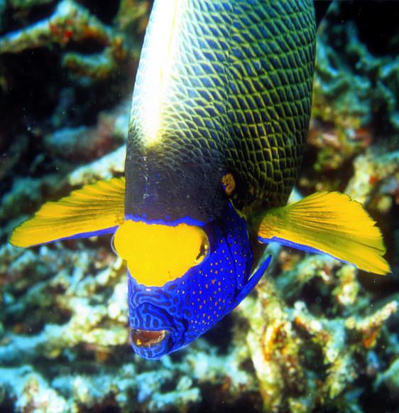 Maldives Angelfish Frontal