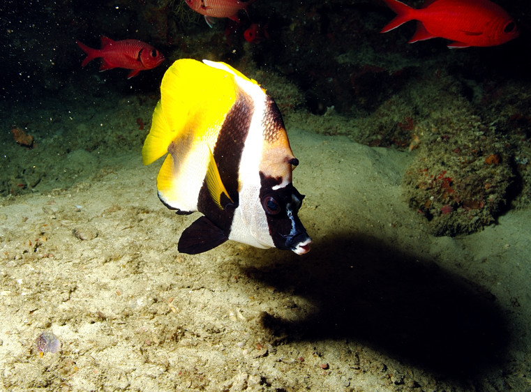 Bannerfish in Cave