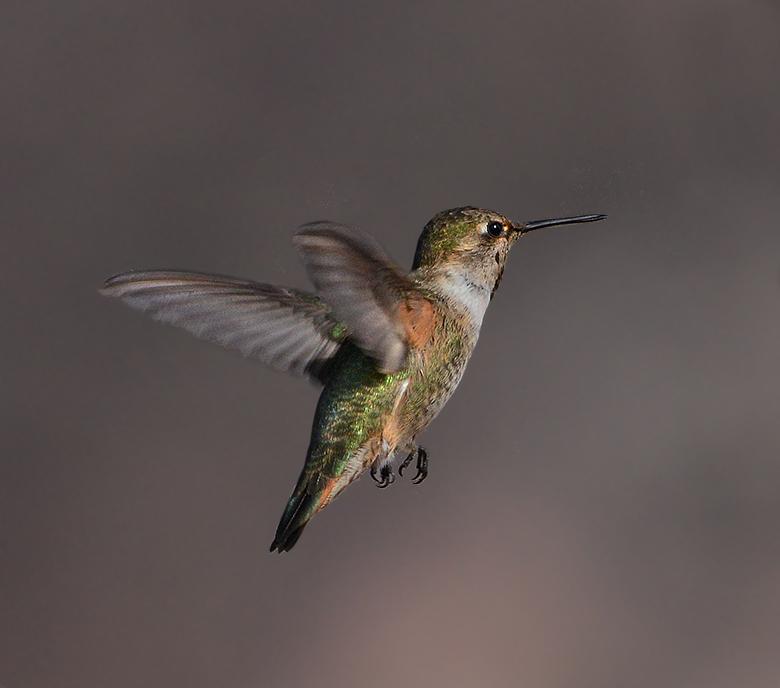 Rufous Hummingbird (Adult Female)