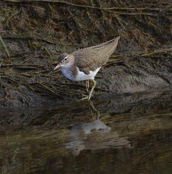 Spotted Sandpiper (Non-breeding Adult)