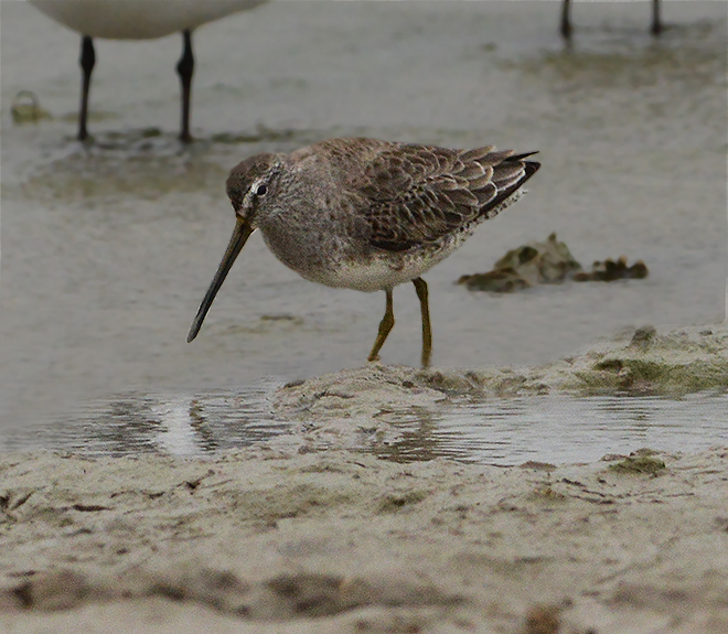 Long-billed Dowitcher (Non-breeding Adult)