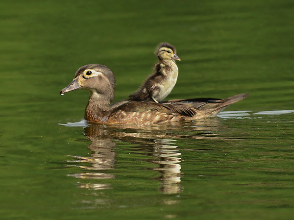 <b>VIDEO: Wood Duck Hen and Ducklings</b>