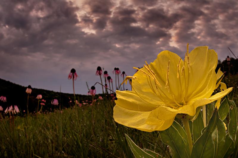 Missouri Evening Primrose