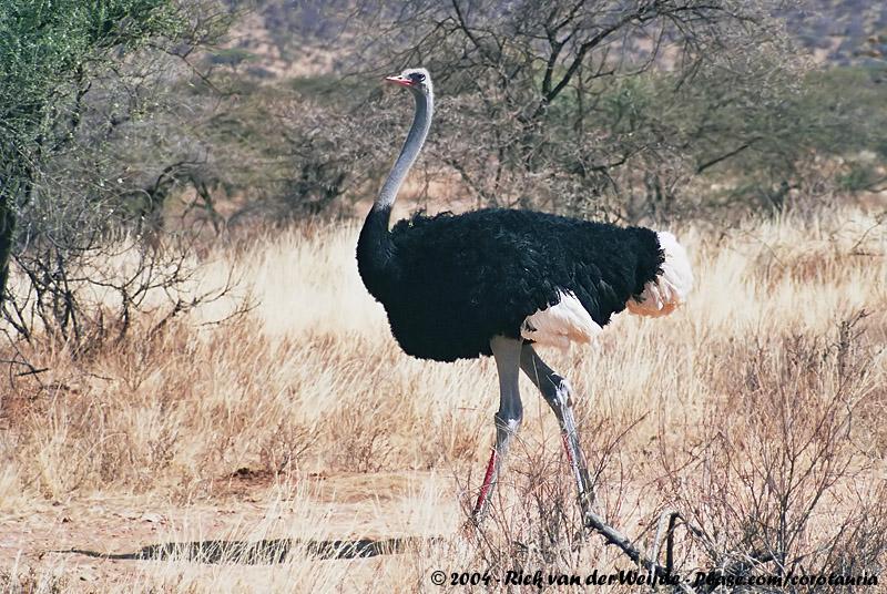 Somali Ostrich<br><i>Struthio molybdophanes</i>