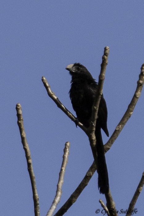 Goove-billed Ani.jpg
