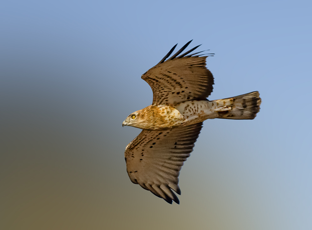 Sort toed eagle