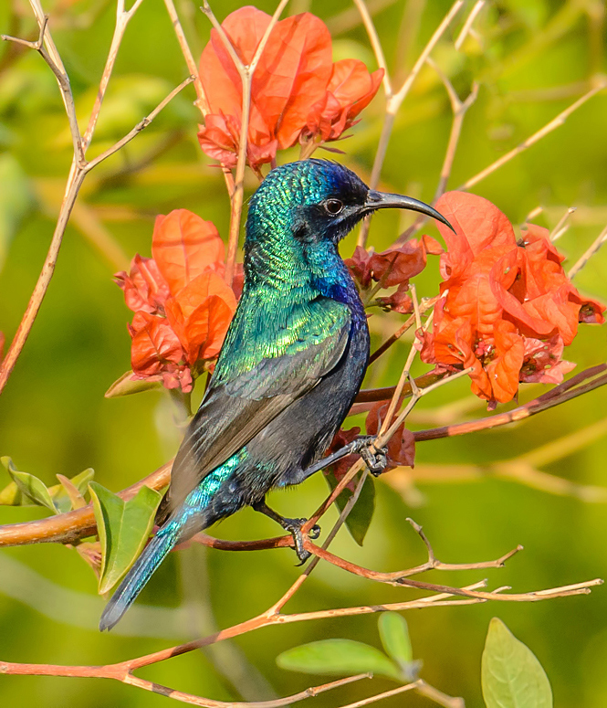 The radiant sunbird