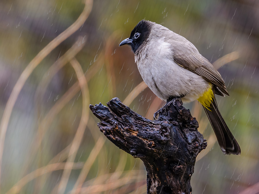 When raining, push your ISO up said the Bulbul...