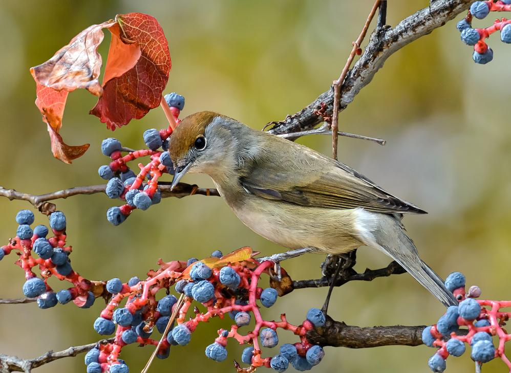 Female Warbler II