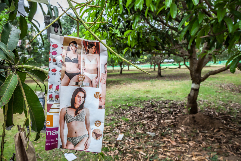 Hidden fruits in the mango orchard