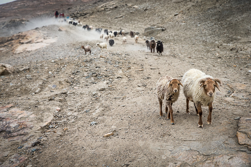 Herding sheep and goats - Zong
