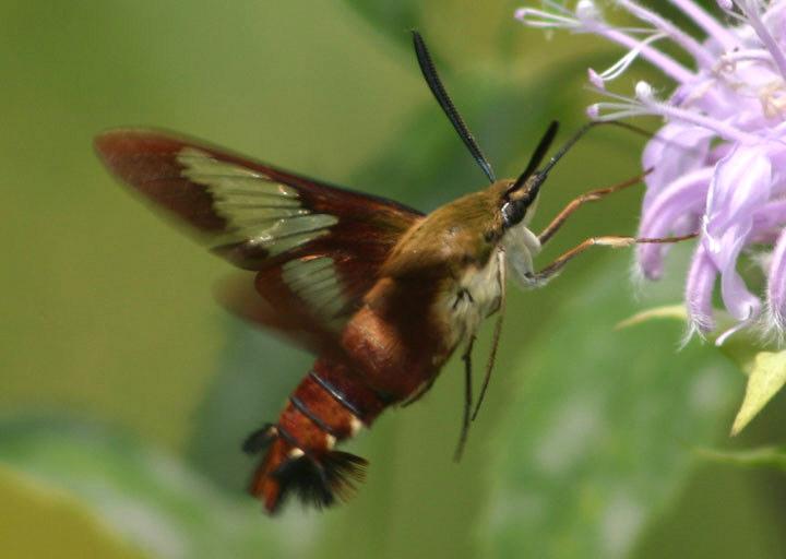 7853 - Hemaris thysbe; Hummingbird Clearwing