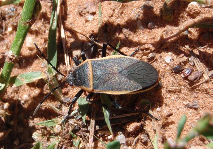 Largus californicus; Bordered Plant Bug species