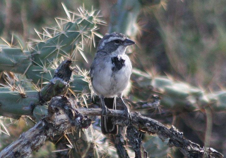 Black-throated Sparrow; juvenile