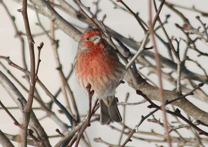 House Finch; male; exotic