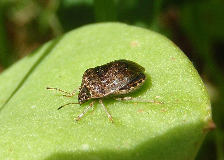 Holcostethus Stink Bug species