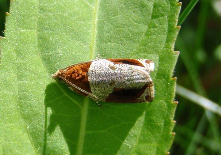 2827 - Olethreutes ferriferana; Hydrangea Leaf Tier