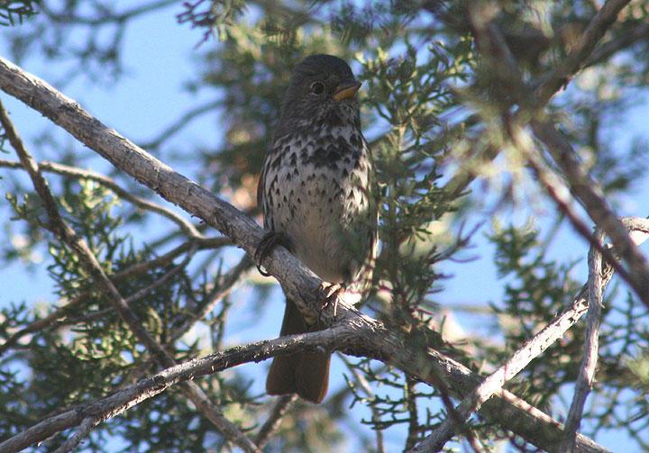 Slate-colored Fox Sparrow