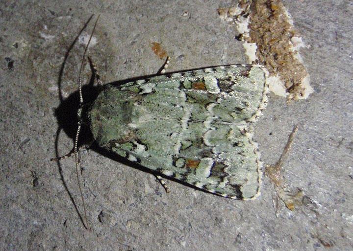 10411 - Lacinipolia laudabilis; Laudable Arches Moth