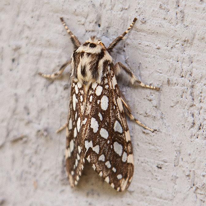 8209 Silver-spotted Tiger Moth (Lophocampa argentata)