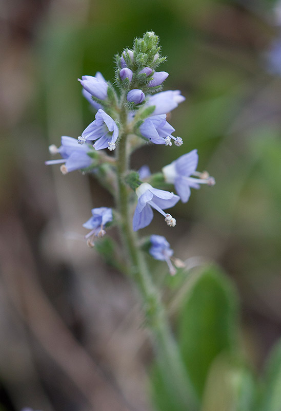 Ärenpris (Veronica officinalis)