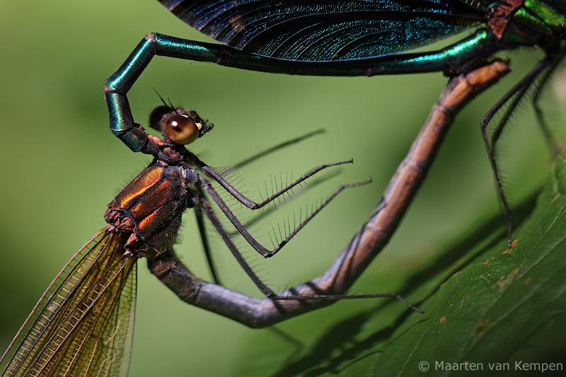 Beautiful demoiselle <BR>(Calopteryx virgo)