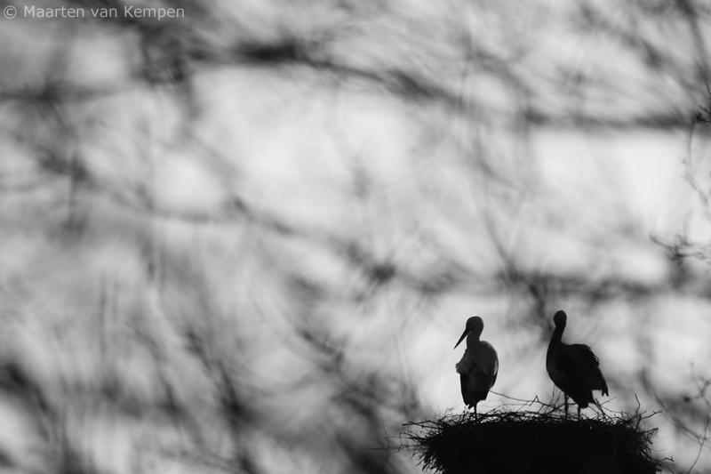 White stork <BR>(Ciconia ciconia)