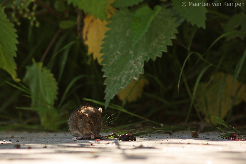 Wood mouse <BR>(Apodemus sylvaticus)