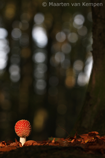 Fly agraric <BR>(Amanita muscaria)