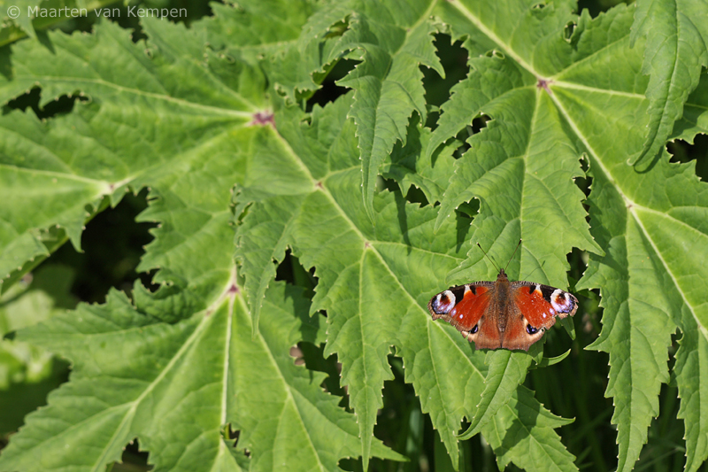 Peacock butterfly <BR>(Inachis io)