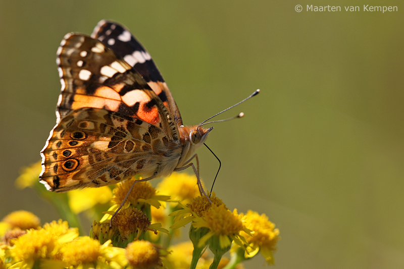 Painted lady <BR>(Vanessa cardui)