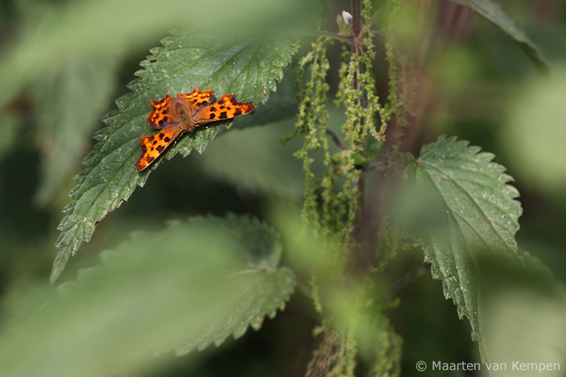 Comma butterfly <BR>(Polygonia c-album)