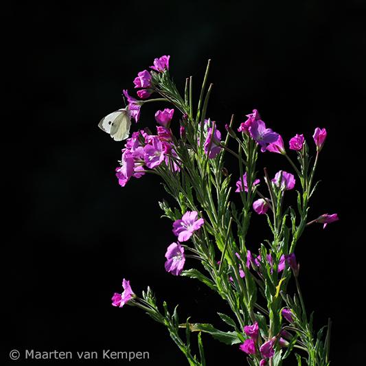 Small white <BR>(Pieris rapae)
