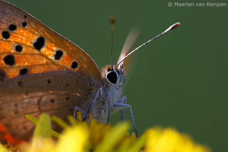 Small copper <BR>(Lycaena phlaeas)