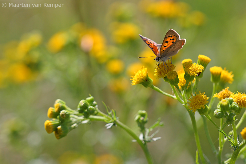 Small copper <BR>(Lycaena phlaeas)