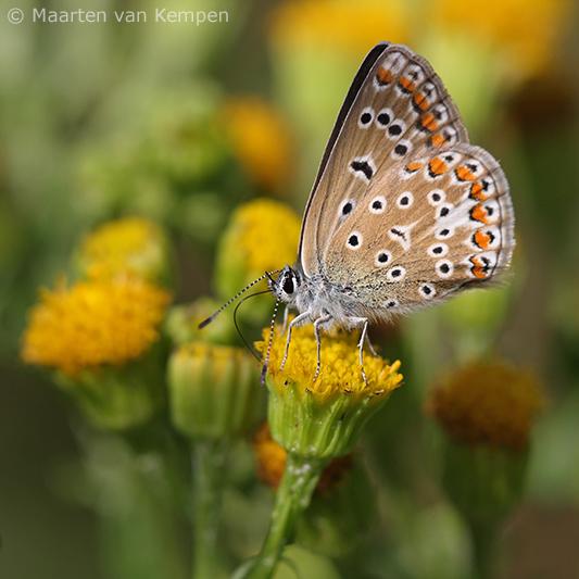 Common blue <BR>(Polymmatus icarus)