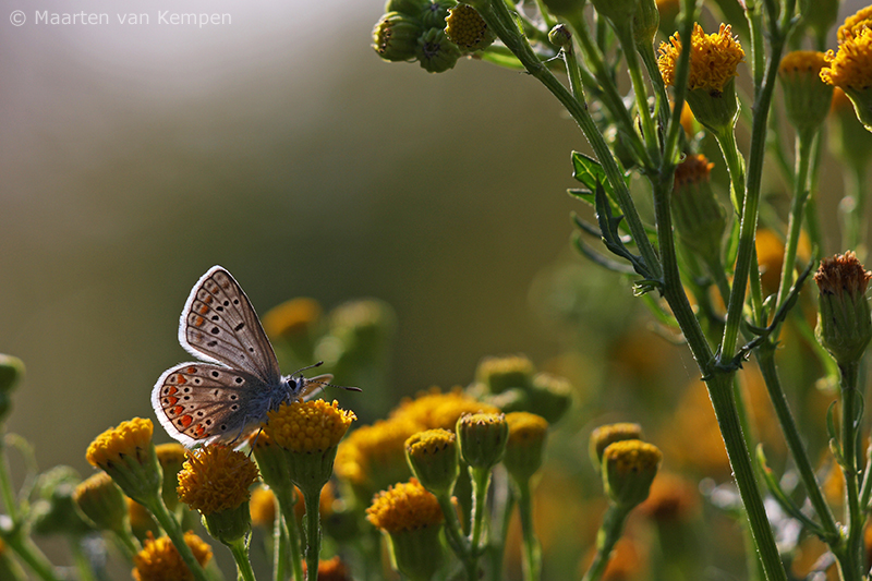 Common blue <BR>(Polymmatus icarus)