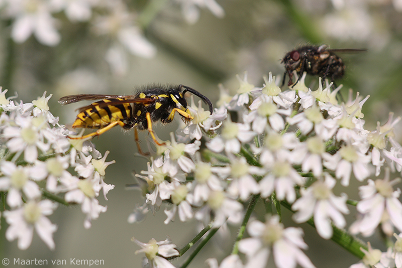 Common wasp <BR>(Vespula vulgaris)