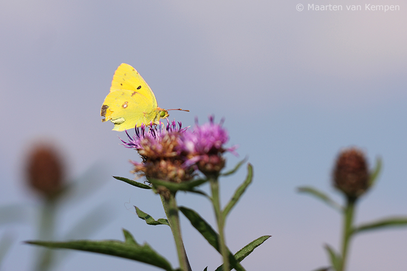Clouded yellow <BR>(Colias croceus)