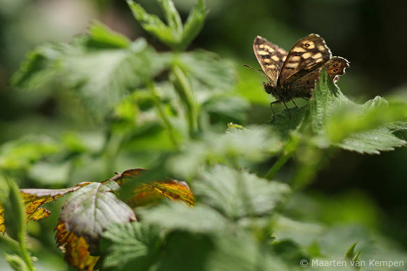 Speckled wood <BR>(Pararge aegeria)
