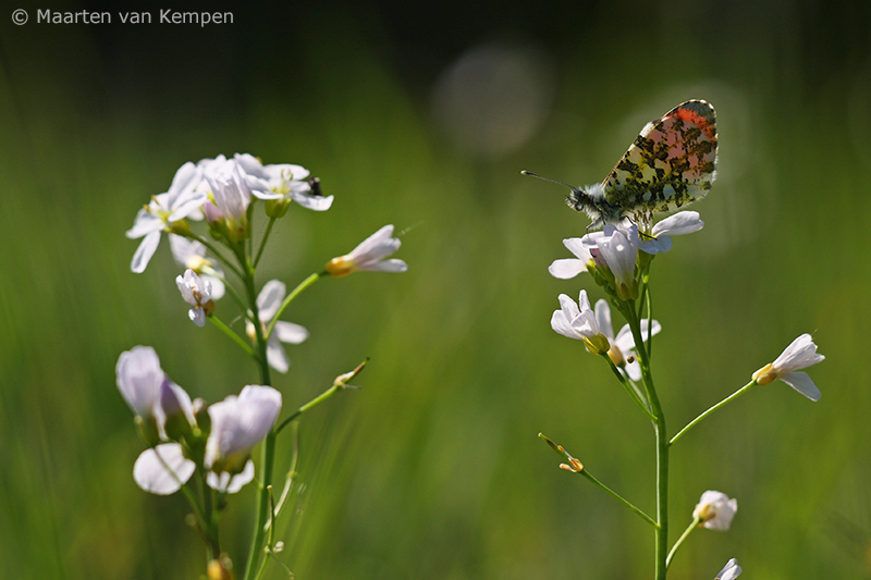 Orange tip <BR>(Anthocharis cardamines)