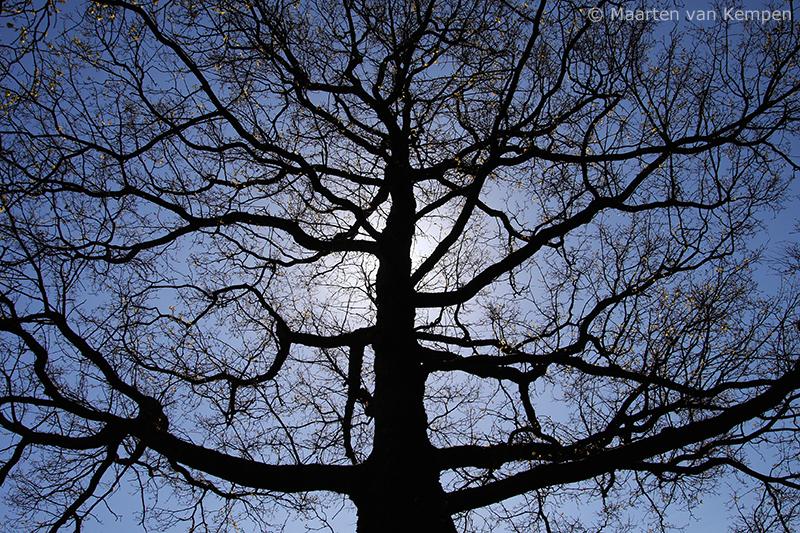 Common oak <BR>Quercus robur)