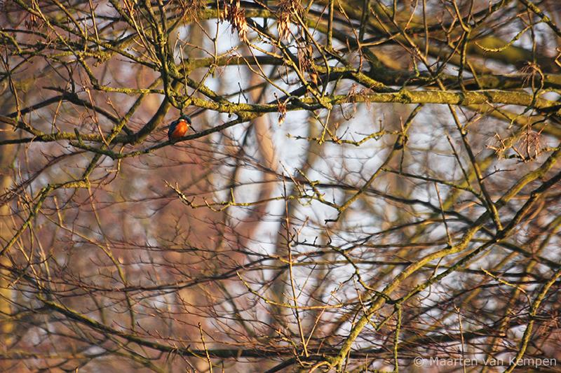 Common kingfisher <BR>(Alcedo attis)