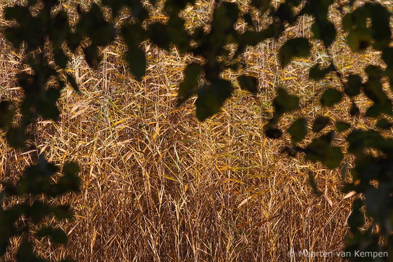Reed <BR>(Phragmites australis)