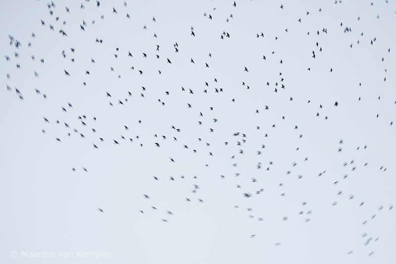 Common starling <BR>(Sturnus vulgaris)