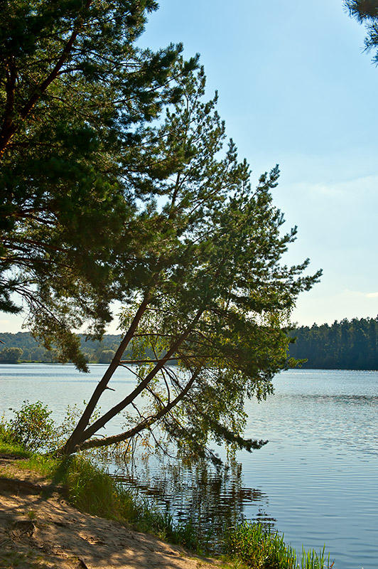 Pines Over The Pond